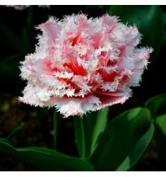Тюльпан пионовидный Queensland 1 шт