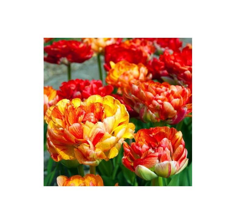 Тюльпан пионовидный Gudoshnik Double 1 шт