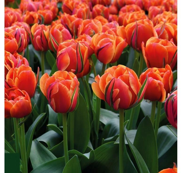 Тюльпан пионовидный Queensday 1 шт
