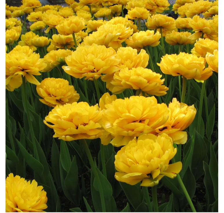 Тюльпан пионовидный Golden Eye 1 шт