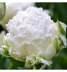 Тюльпан пионовидный Snow Crystal 1 шт