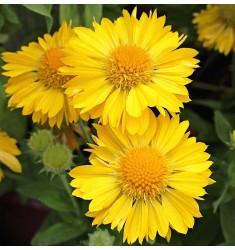 Гайлардия Mesa Yellow 5 шт семян