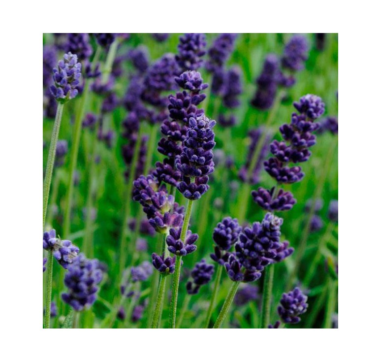 Лаванда узколистная Lavans Deep Purple 5 шт семян