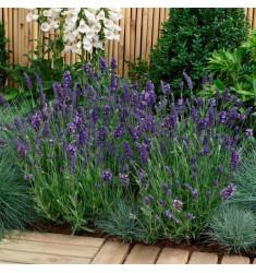 Лаванда узколистная Ellagance Purple 5 шт семян