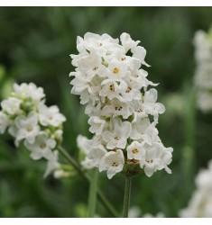 Лаванда узколистная Ellagance Snow 5 шт семян